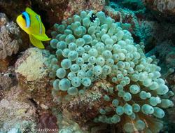 BD-090409-Marsa-Alam-4093165-Amphiprion-bicinctus.-Rüppell.-1830-[Twoband-anemonefish.-Tvåbandad-clownfisk].jpg